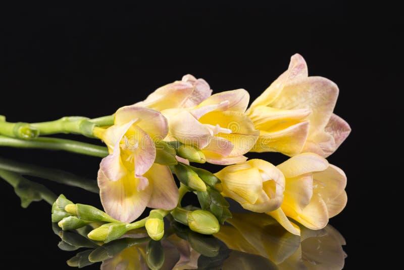 Blommor av härlig gul lila freesia som isoleras på svart bakgrund arkivfoton