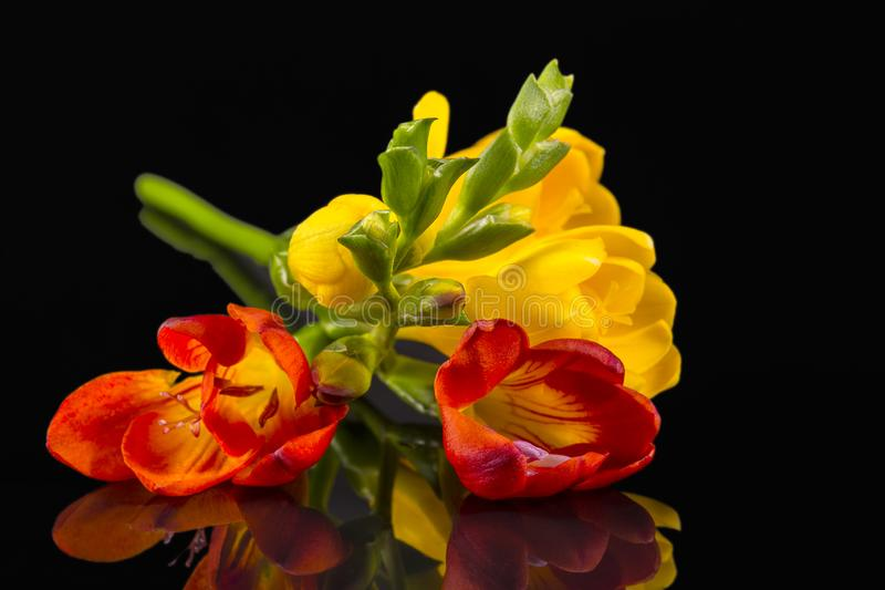 Blommor av härlig guling och röd freesia som isoleras på svart bakgrund royaltyfri bild