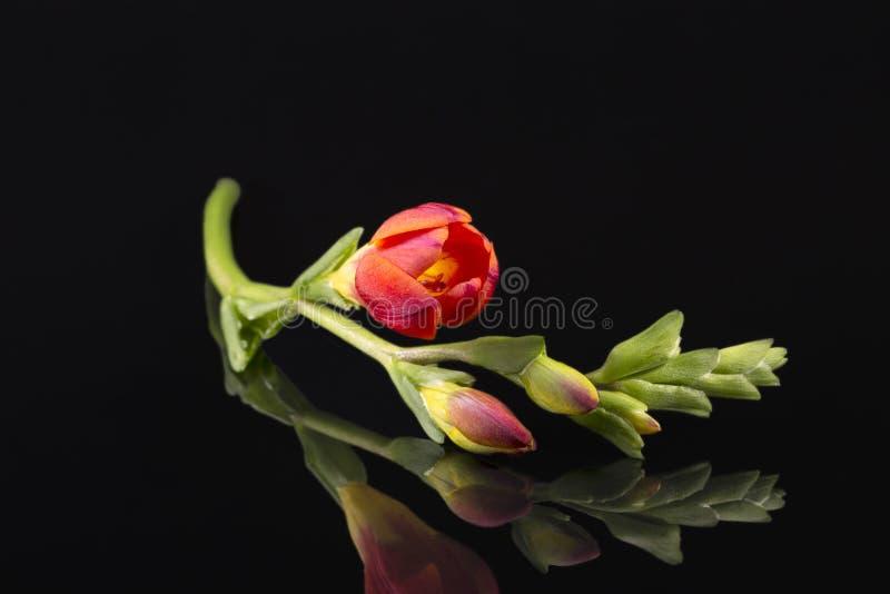 Blommor av härlig röd freesia på svart bakgrund arkivbilder