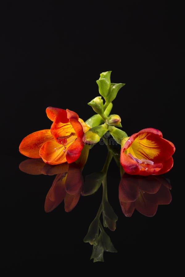 Blommor av härlig röd freesia som isoleras på svart bakgrund royaltyfria foton