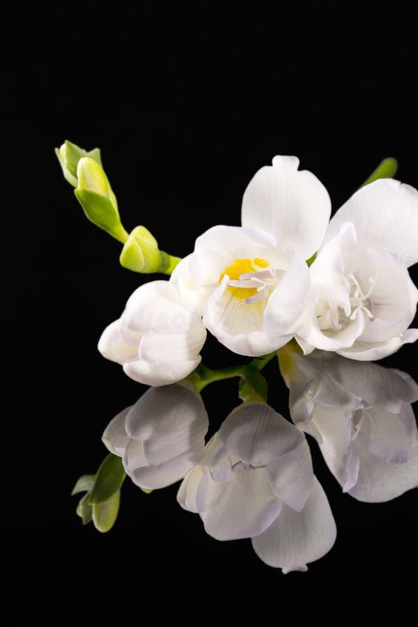 Blommor av härlig vit freesia som isoleras på svart bakgrund, royaltyfri bild
