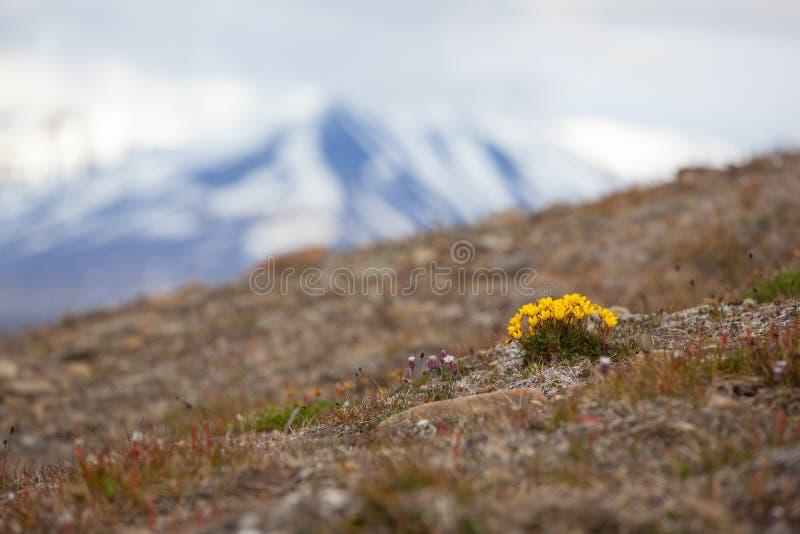 Blommor av hirculusen för Saxifraga för Svalbard myrstenbräcka den gula i Svalbard Floraarktisk av Norge royaltyfria foton
