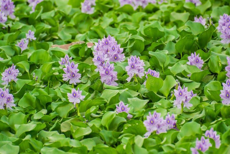 Blommor av hyacinten för vatten- växt royaltyfria bilder