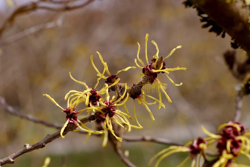 Blommor av kinesiska häxaHazel Hamamelis mollis royaltyfri bild