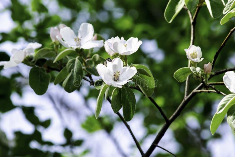 Blommor av kvitten som blommar i en vårträdgård, delikata rosa blommor mot bakgrunden av grön lövverk arkivbilder