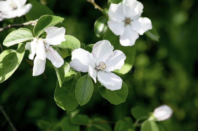 Blommor av kvitten som blommar i en v?rtr?dg?rd, delikata rosa blommor mot bakgrunden av gr?n l?vverk royaltyfri fotografi