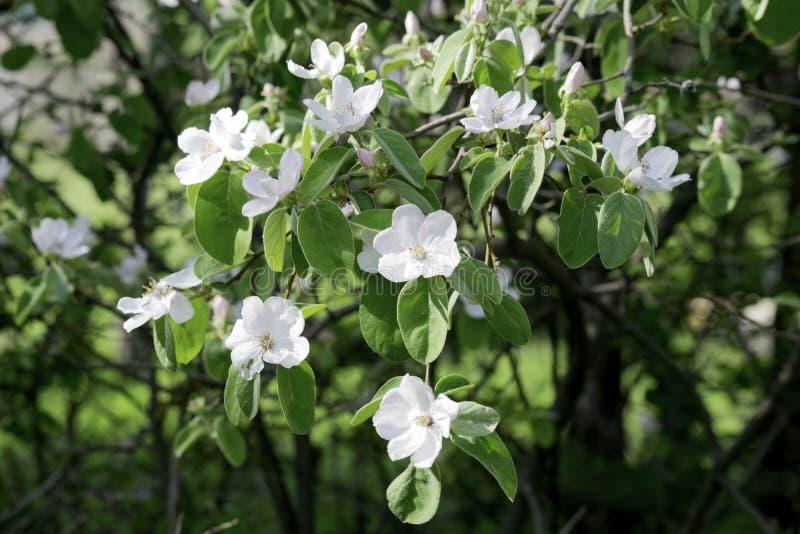 Blommor av kvitten som blommar i en v?rtr?dg?rd, delikata rosa blommor mot bakgrunden av gr?n l?vverk arkivbild