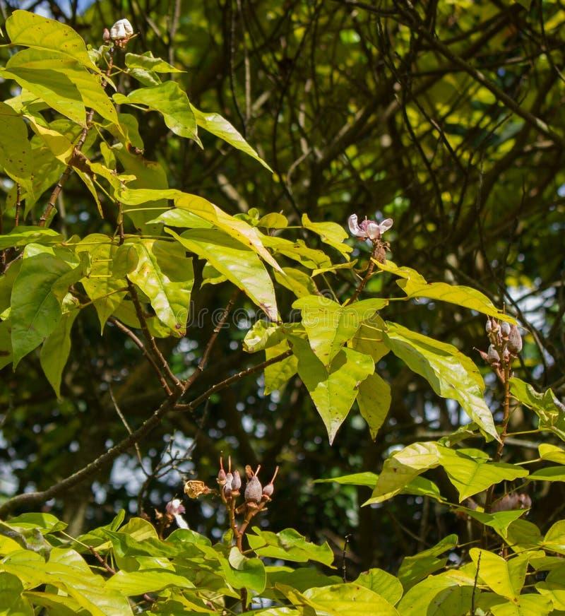 Blommor av läppstiftträdet (den Bixa orellanaen) arkivfoton