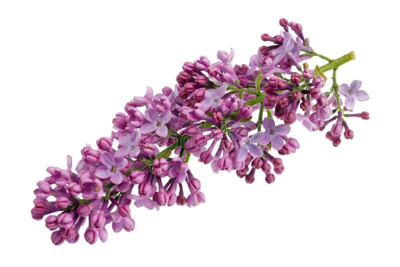 Blommor av ljust - den purpurfärgade verkliga lilan på litet ensamt fattar isolerad makro royaltyfri bild