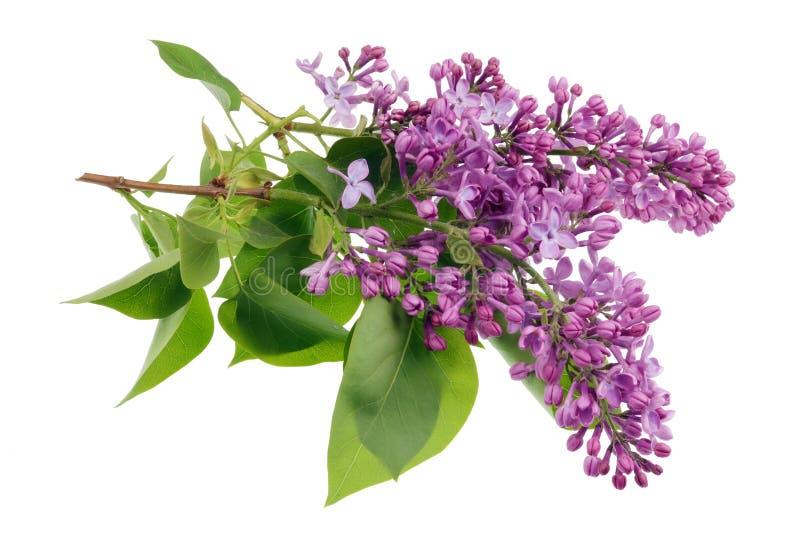 Blommor av ljust - purpurfärgad verklig lila på små filialer med isolerade sidor royaltyfria bilder