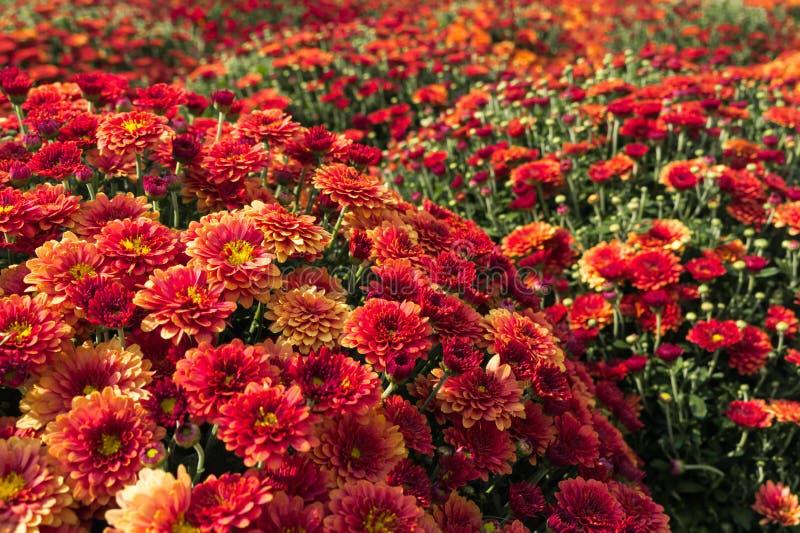 Blommor av ljust rött krysanthemum sfäriskt Flödesfält i staden royaltyfri fotografi
