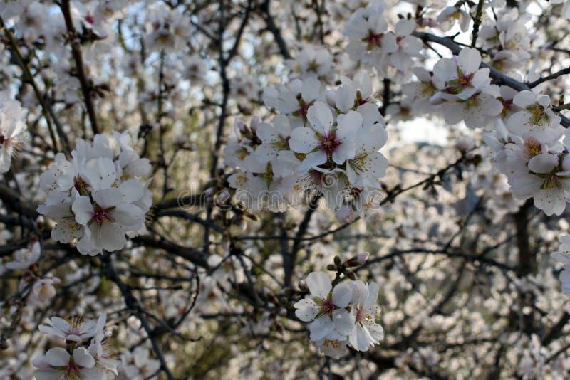 Blommor av mandeln i vinter fotografering för bildbyråer