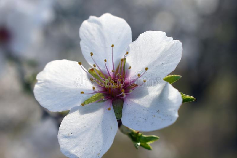 Blommor av mandeln i vinter arkivbilder