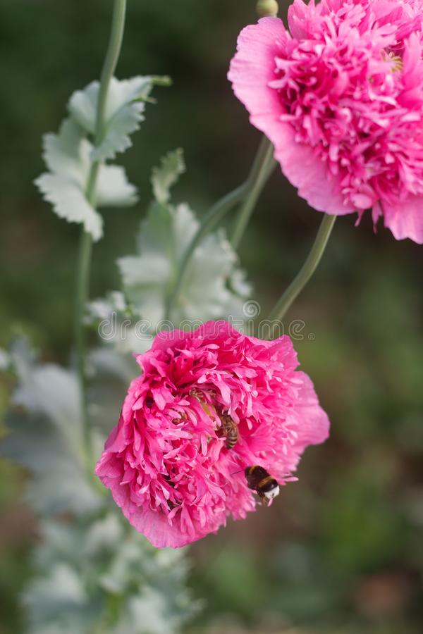 Blommor av ovanliga dubbla rosa vallmo i trädgården, bin och humlor som samlar icke-stjärnan royaltyfria bilder