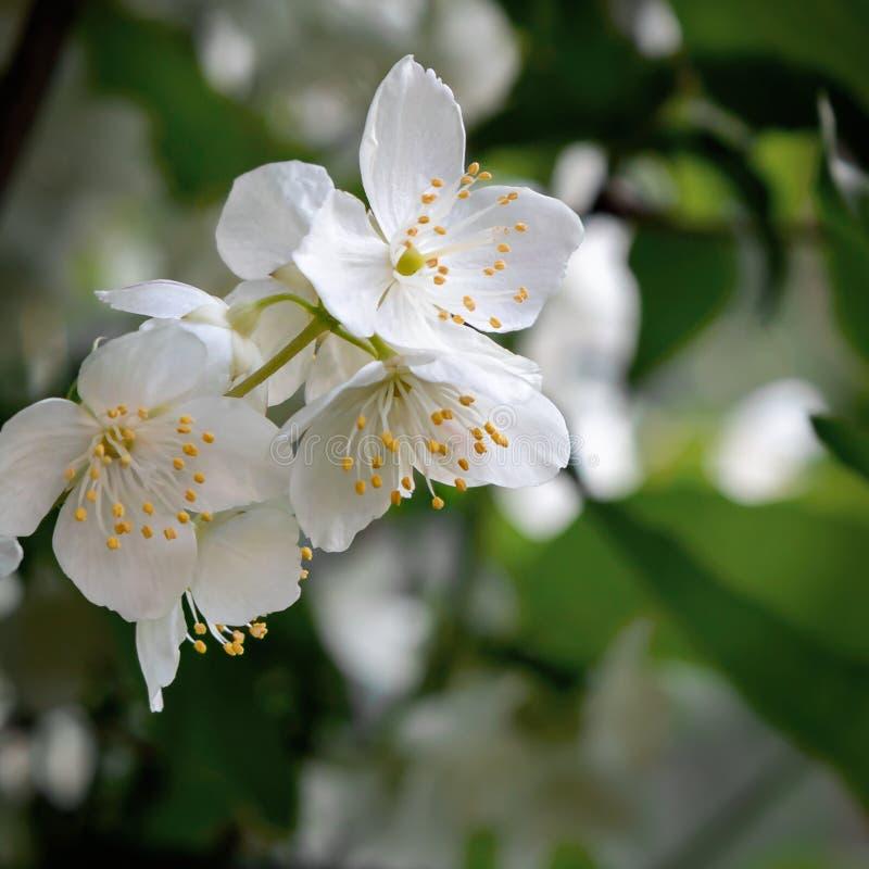 Blommor av philadelphusen någonstans kallade jasmin eller den falska apelsinen i gargenen royaltyfri fotografi