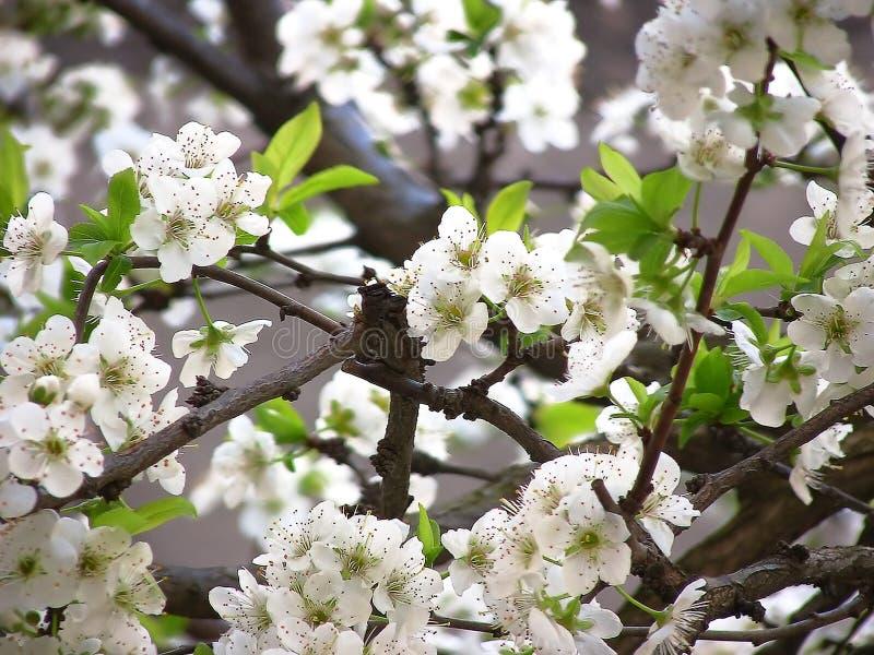 Blommor av plommonträdet royaltyfria bilder
