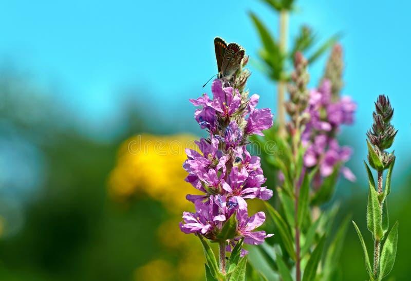 Blommor av purpurfärgad loosestrife, Lythrumsalicaria, broddad loosestrife, purpurfärgad lythrum, royaltyfri foto