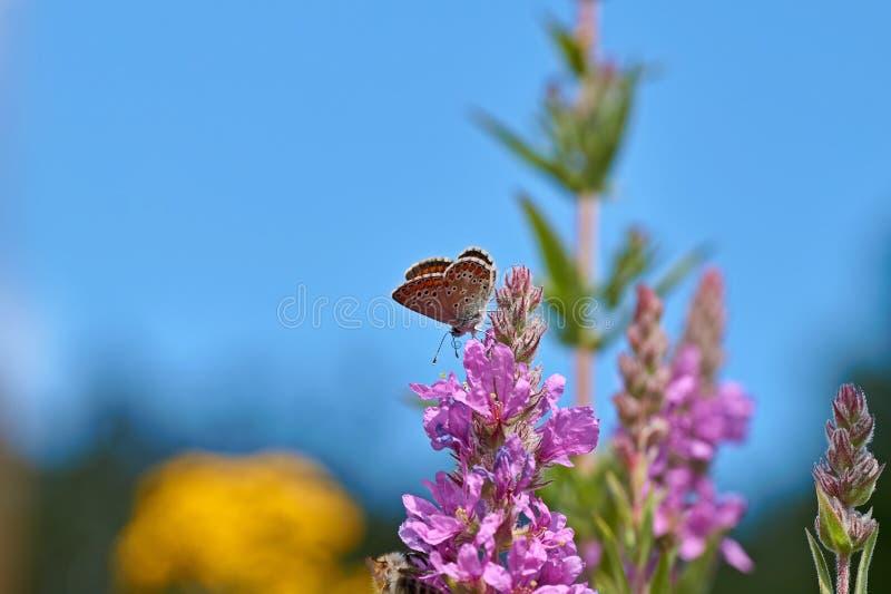 Blommor av purpurfärgad loosestrife, Lythrumsalicaria, broddad loosestrife, purpurfärgad lythrum, royaltyfria bilder