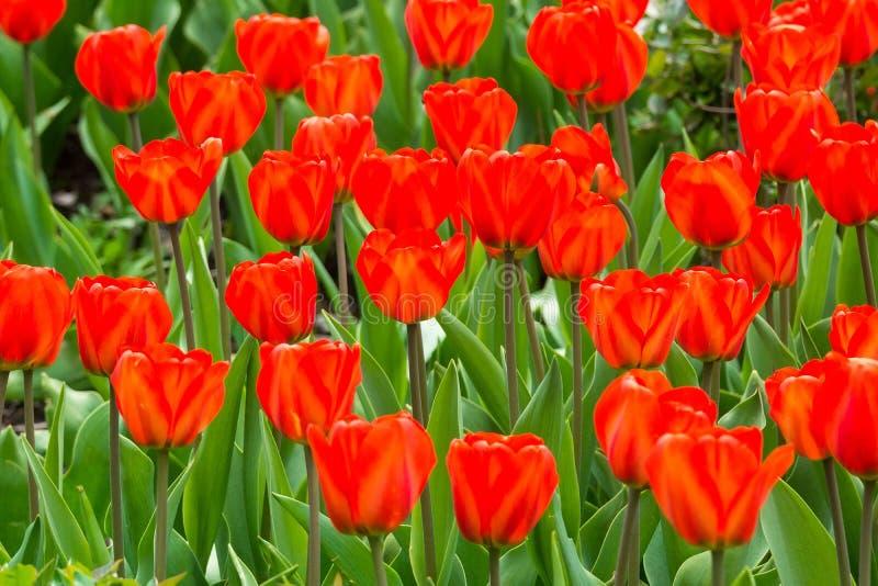 Blommor av röda tulpan royaltyfria bilder