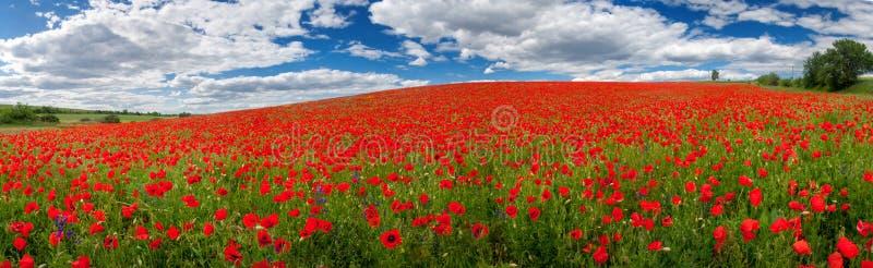 Blommor av röda vallmo Sommarlandskap med röda vallmo panorama arkivbild