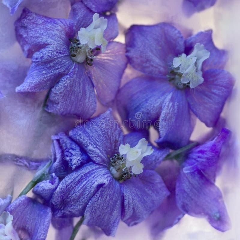 Blommor av  riddarsporre som frysas i is, konstvinterbakgrund fotografering för bildbyråer