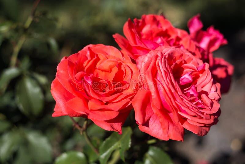 Blommor av rosor nästan royaltyfri fotografi