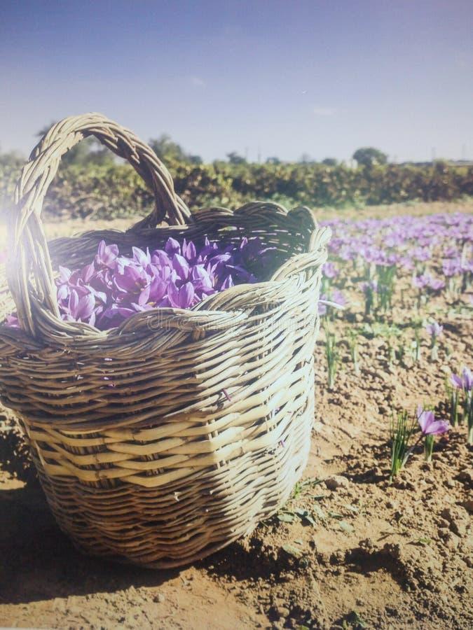 Blommor av saffran fotografering för bildbyråer