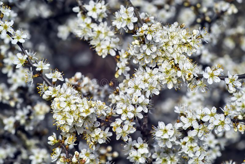 Blommor av sl?net, Prunusspinosa, i v?r royaltyfri bild