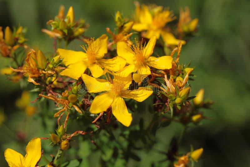 Blommor av St-Johns-wort arkivbilder
