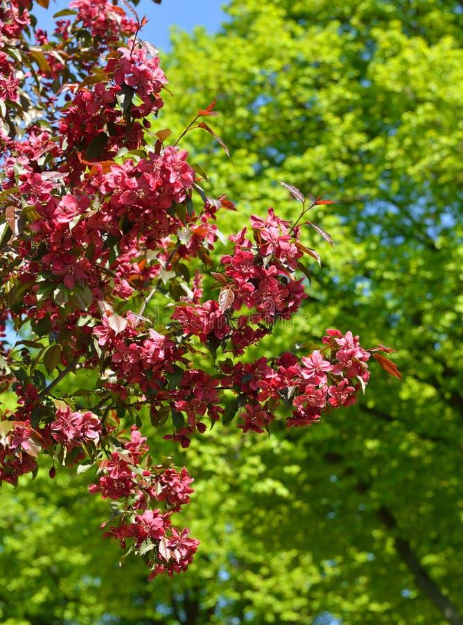 Blommor av träd för äpple för Malusroyaltykrabba royaltyfria foton