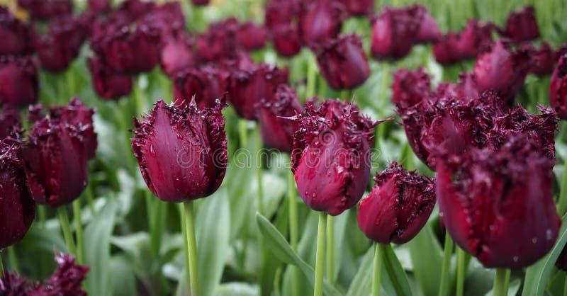 Blommor av våren - ett fält av den mörka purpurfärgade tulpantulipaen royaltyfria bilder
