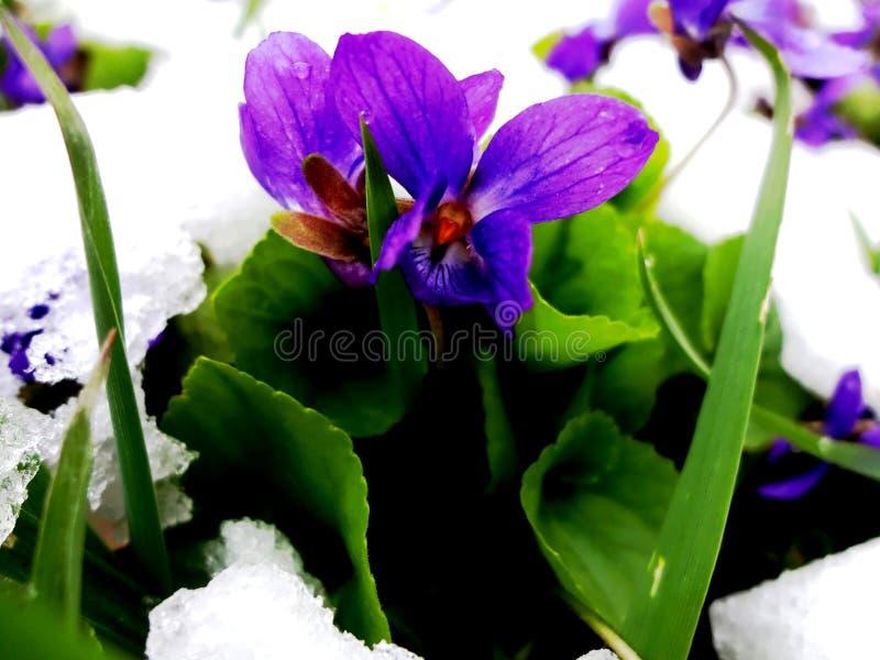 Blommor av våren, krokusar, snödroppar royaltyfria bilder