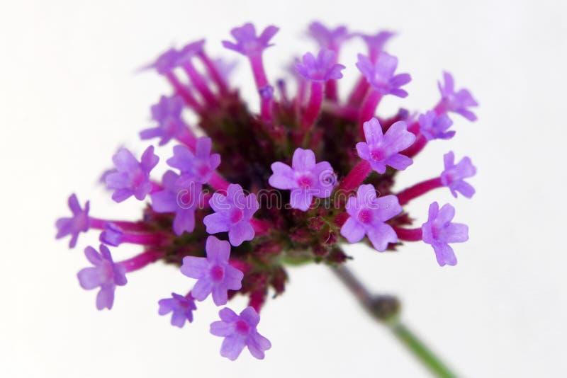 Blommor av verbena royaltyfri fotografi