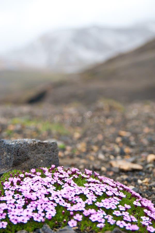 Blommor bara i isländskt landskap royaltyfria bilder