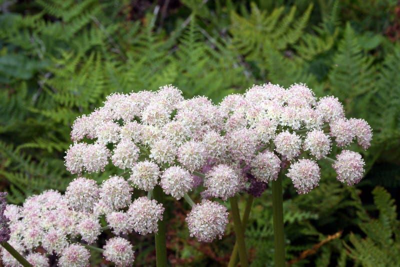 Blommor bland ormbunkar arkivfoton