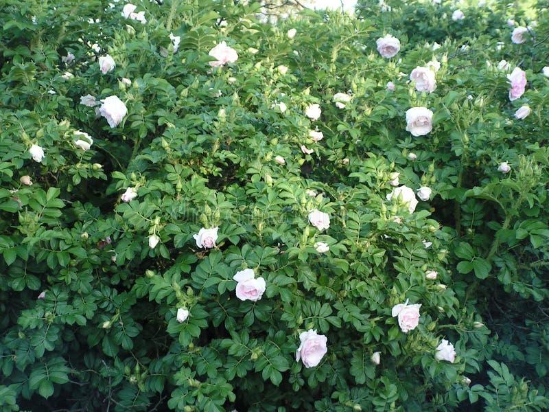 Blommor Bush med rosor Landskapomr?de i str?larna av inst?llningssolen royaltyfria bilder