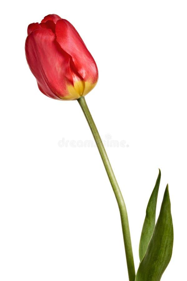 Blommor enkel tulpan som isoleras på en vit bakgrund arkivbild