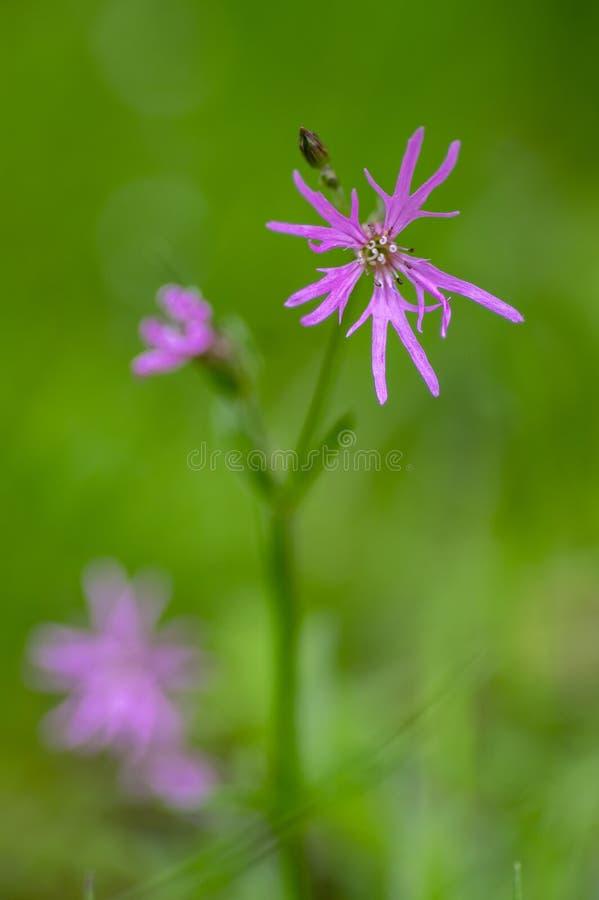 Blommor för ängar för Lychnis flos-cuculi rosa lösa i blom, härlig sommarblomningväxt royaltyfria foton