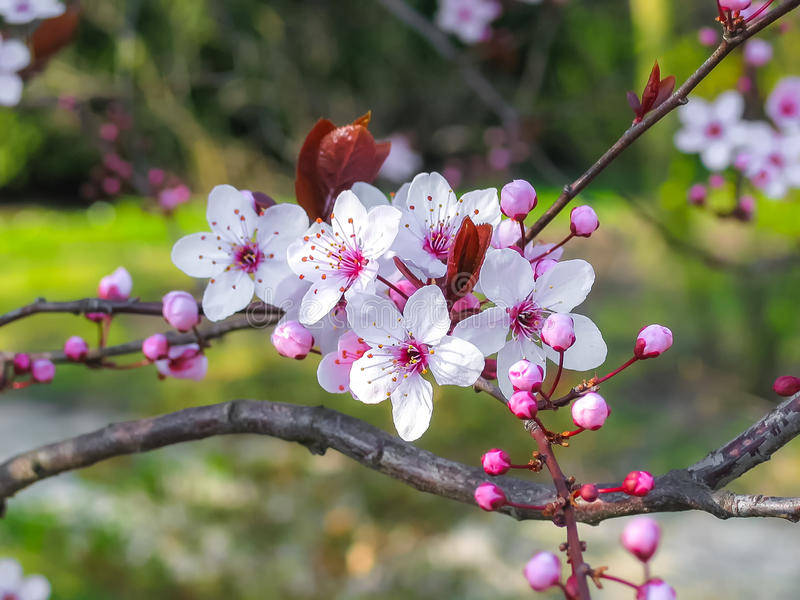 blommor för äppledjupfält blir grund treen royaltyfria foton