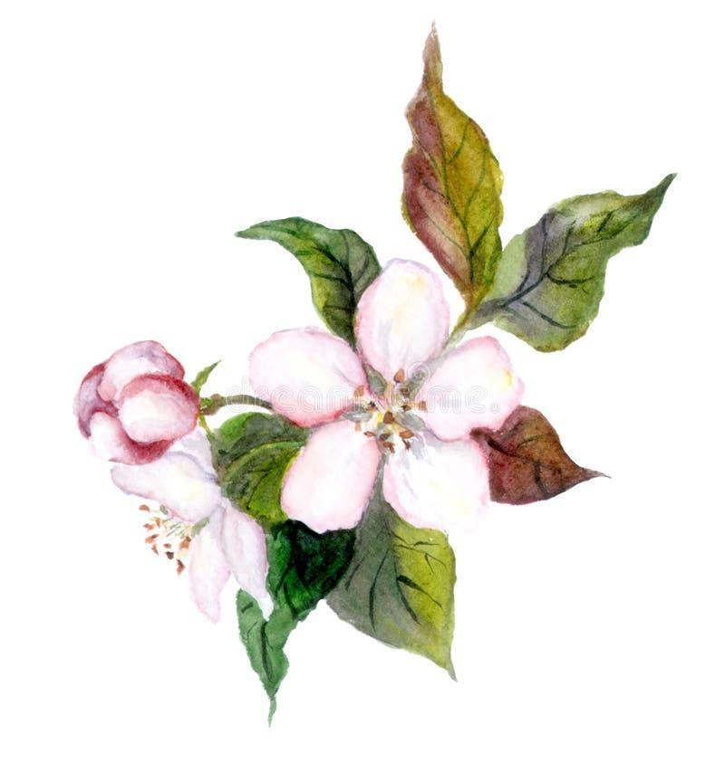 Blommor för Apple träd, vattenfärgillustration vektor illustrationer