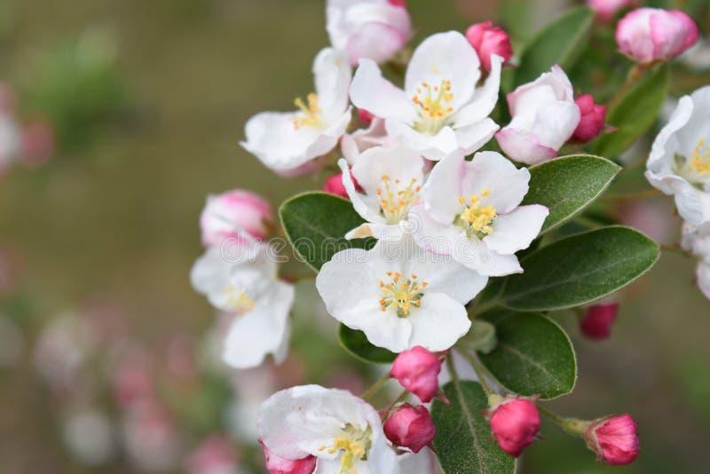 Blommor för blomning för det Apple trädet samlar ihop arkivfoton