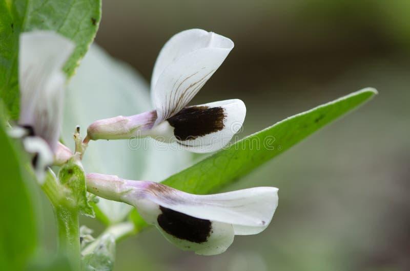 Blommor för bondböna (Viciafaba) arkivfoton