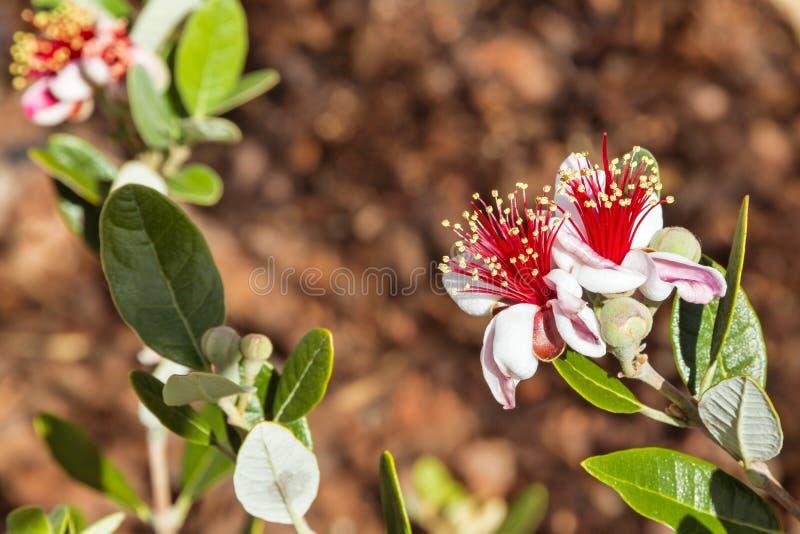 Blommor för buske för ananasguava som isoleras på brun bakgrund arkivbild