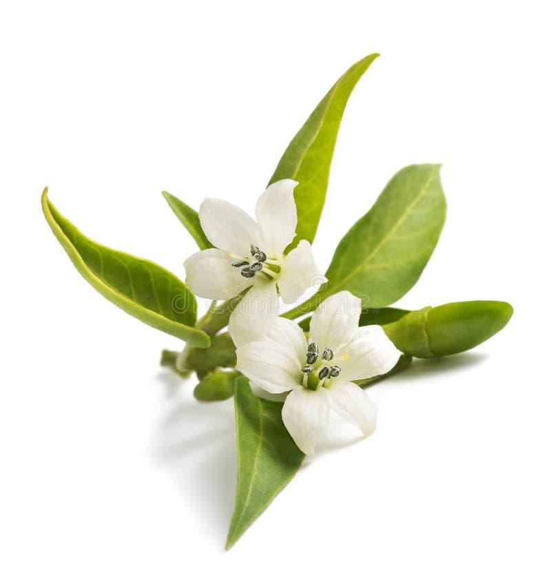 Blommor för chilipeppar royaltyfri bild