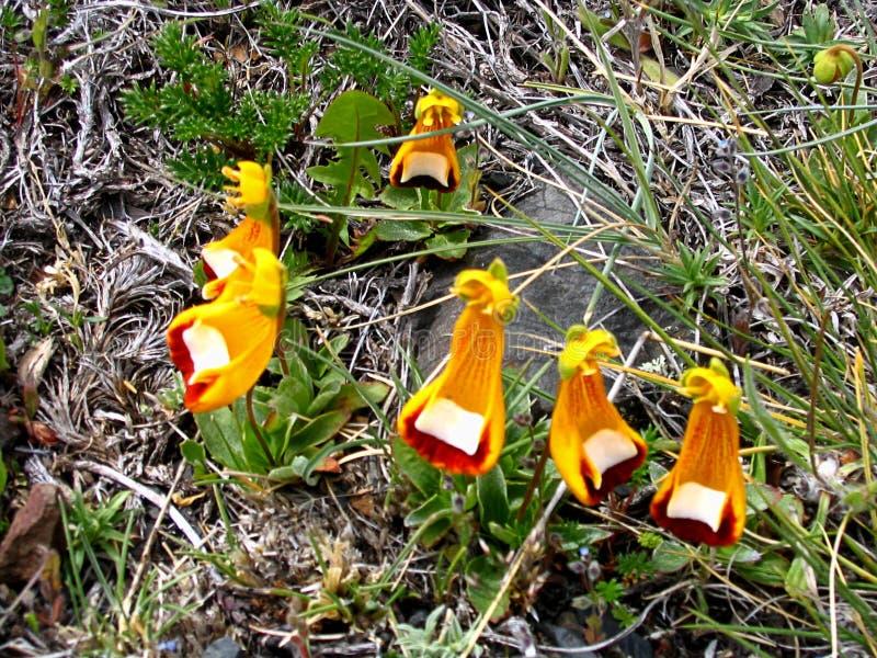 Blommor för dam Slippers i den Torres del Paine nationalparken, sydlig Patagonia, Chile royaltyfri fotografi