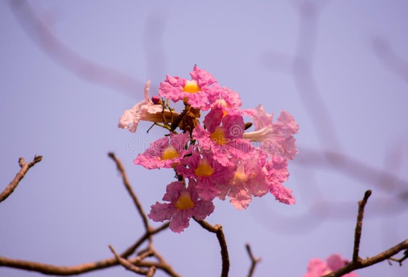 Blommor för den Tabebuia rosea- eller rosa färgtrumpeten som växer upp i lokalen, parkerar i bygden av nya Thailand blickar arkivbild