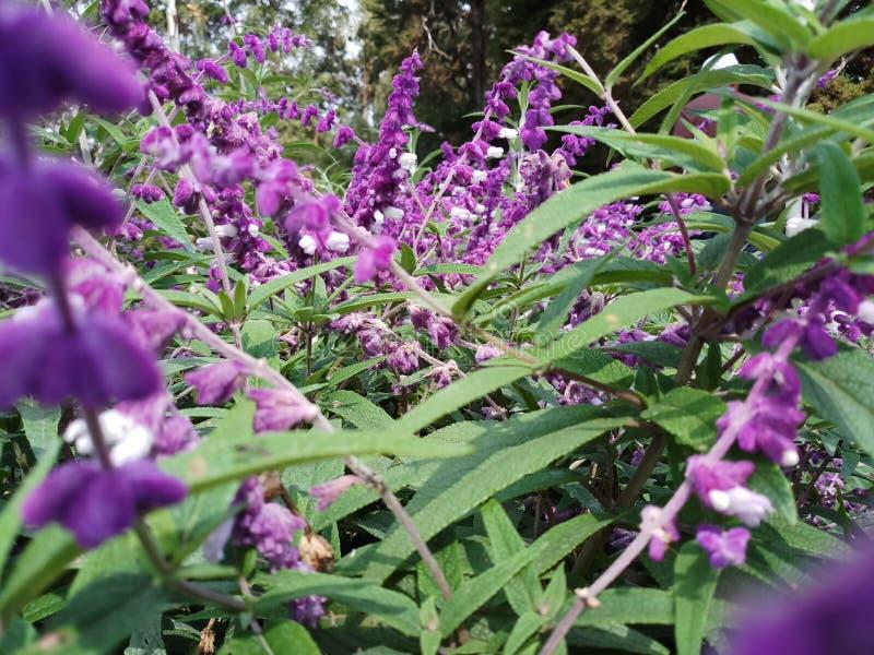 Blommor för fjärilsbuske tilldrar fjärilen arkivbild