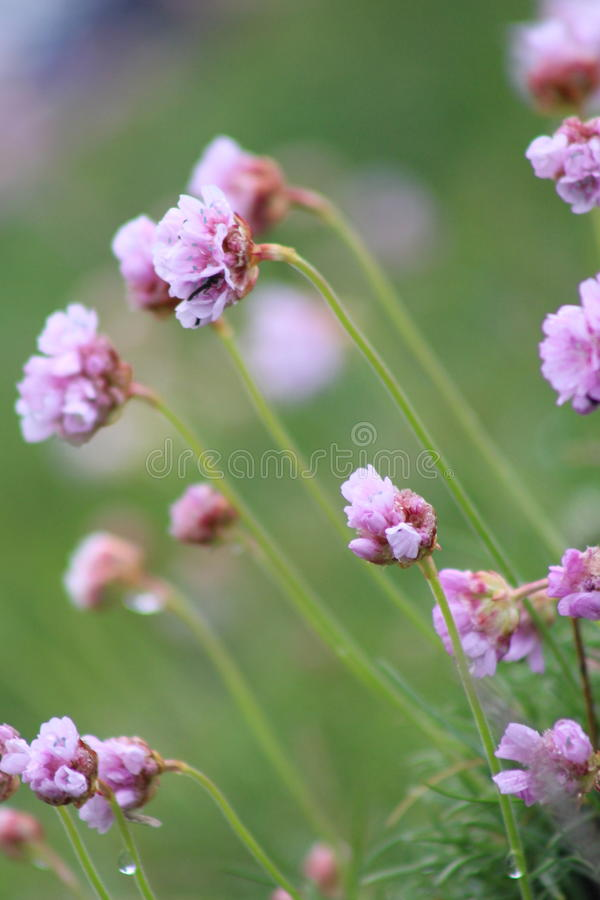 Blommor för havsrosa färger fotografering för bildbyråer