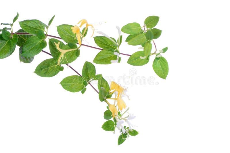 Blommor för japansk kaprifol royaltyfri foto