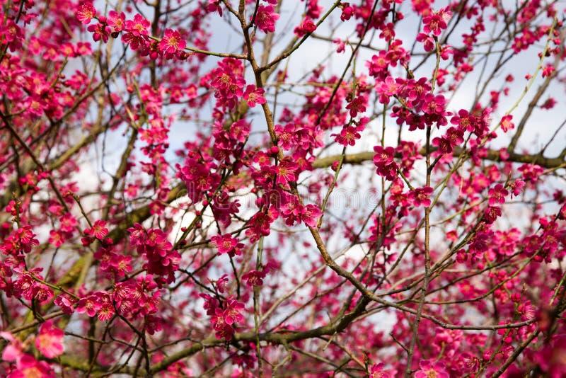 Blommor för japansk plommon fotografering för bildbyråer
